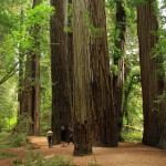 1280px-Stout_Memorial_Grove_in_Jedediah_Smith_Redwoods_State_Park_in_2011_22-150×150 8