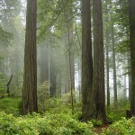 Redwood_National_Park_fog_in_the_forest-150×150 7