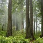 Redwood_National_Park_fog_in_the_forest-150×150 7